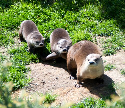 Ginger the Otter's Pups Follow Her