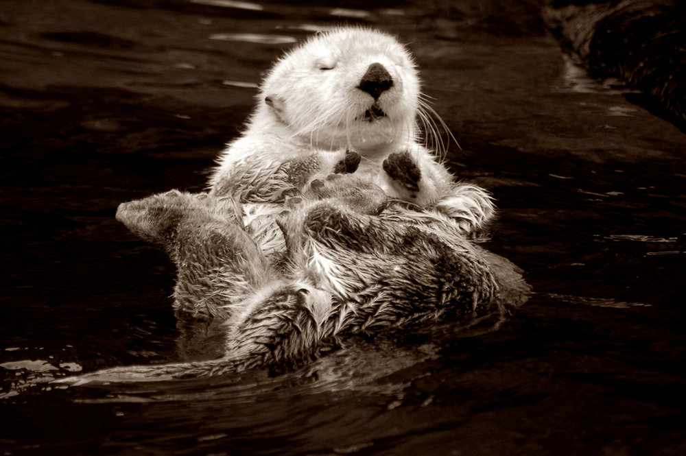 Zen Otter Floats and Meditates