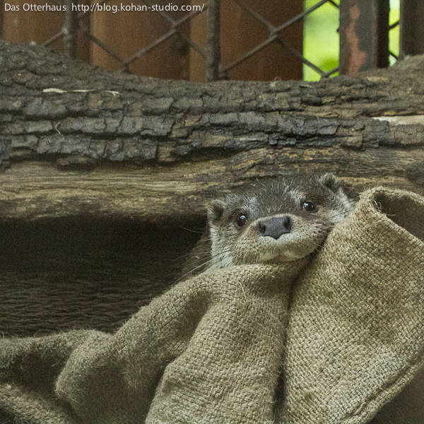 Otter Peeks Out to See If You've Found Him Yet