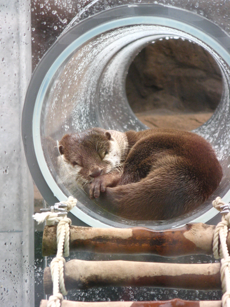Otter Naps in His Play Tube