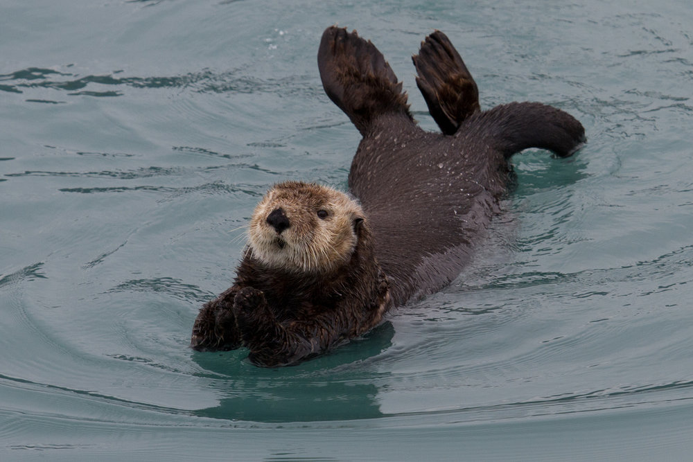Otter Switches to a Belly Float!