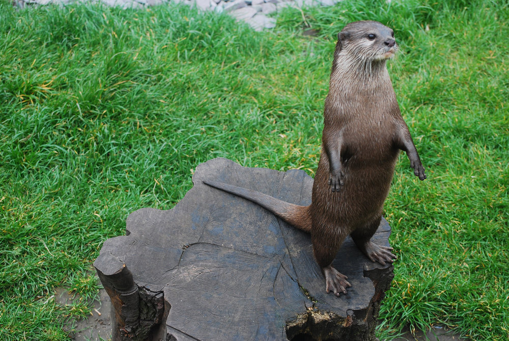 King Otter Surveys His Domain