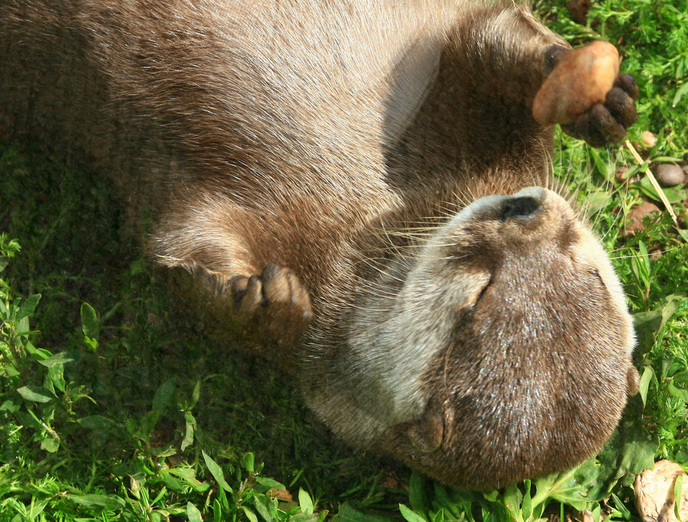 Otter Relaxes Mid-Juggle
