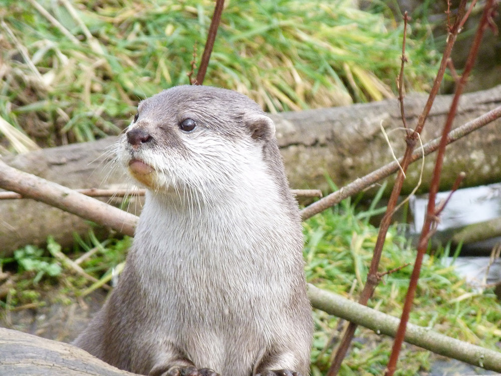 Curious Otter Takes a Look Around
