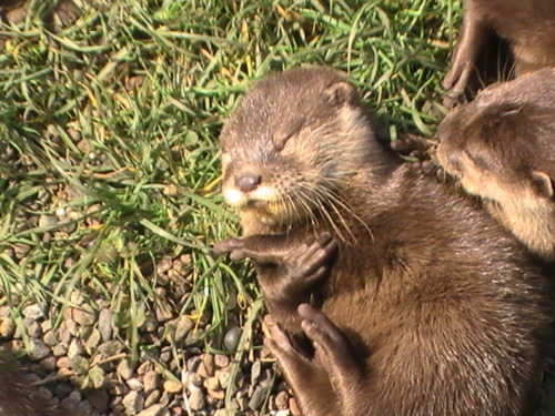 Otter Basks in the Sun