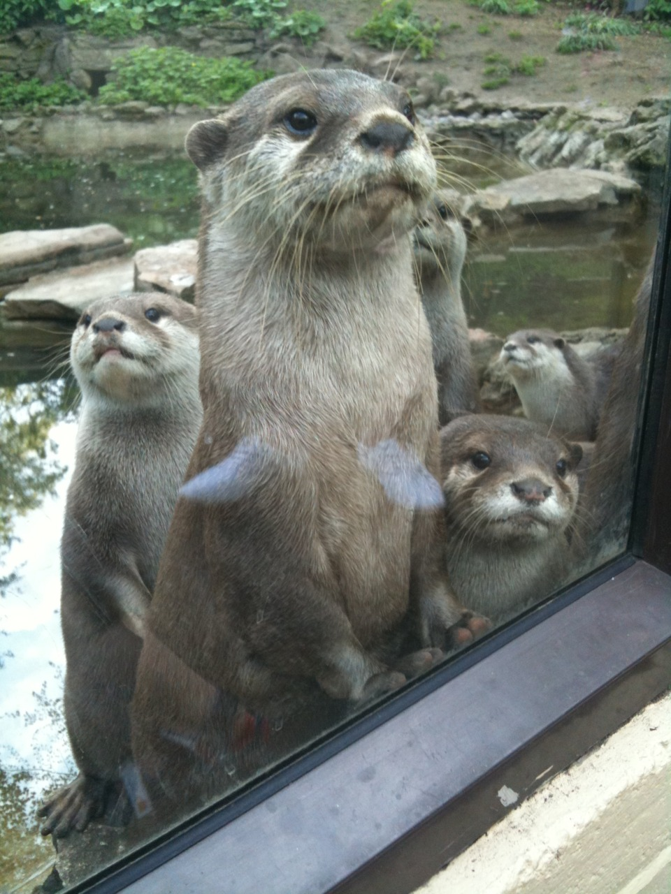 Otters Know Their Habitat and Are Curious About Hooman's Habitat!