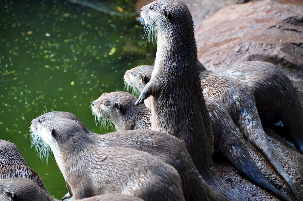 Otters Are Mesmerized