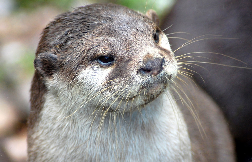 Devious Otter Watches His Plan Unfold