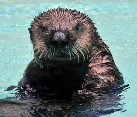 Clover the Baby Sea Otter 1