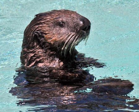 Clover the Baby Sea Otter 2