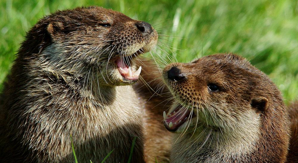 Otter Duet