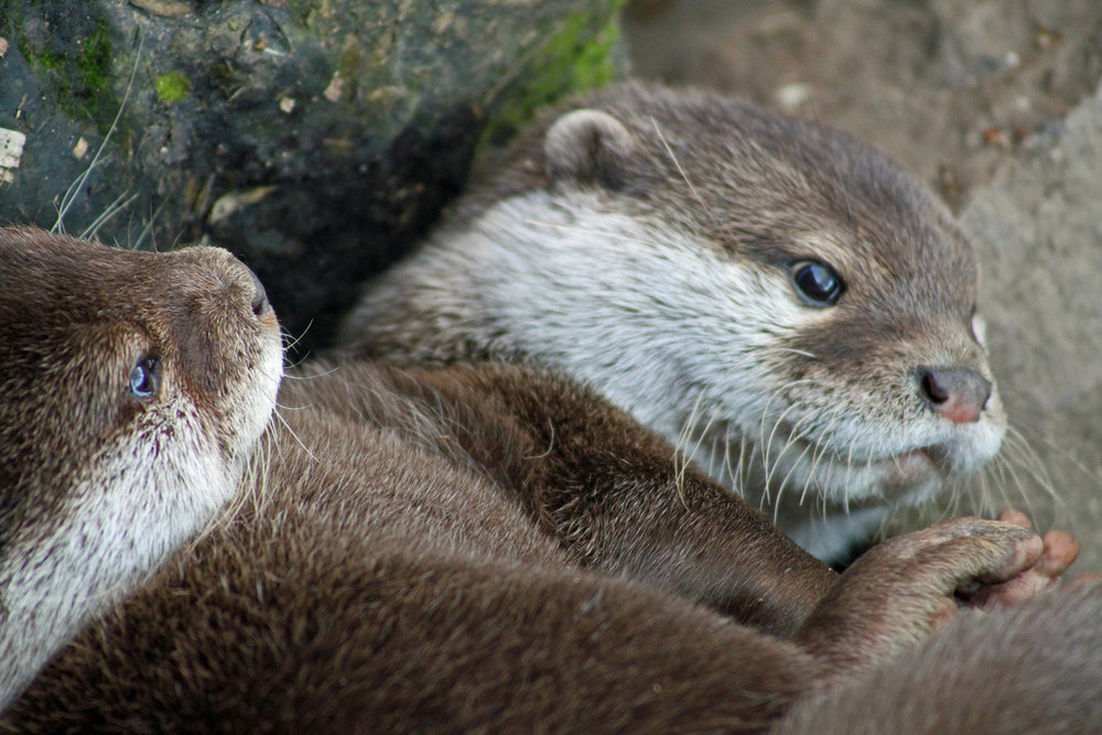 Otter Looks Especially Cuddly