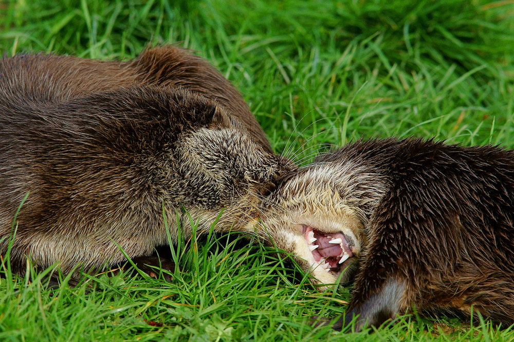 Otter Pups Play Tickle Torture