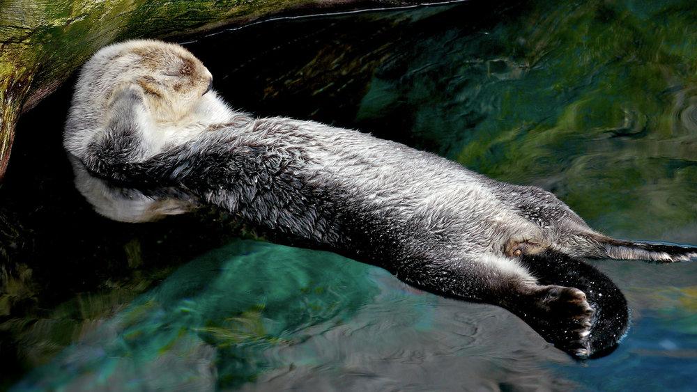 Otter Can't Heeeaaar Yooou