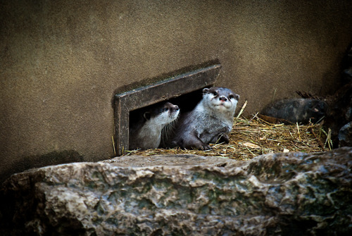 Otters Peek Out