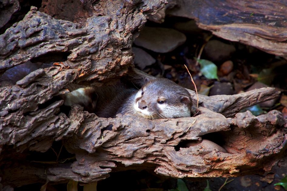 Otter Rests in His Tree-Nook