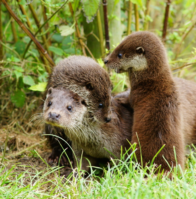 Otter Pups Climb All Over Mum