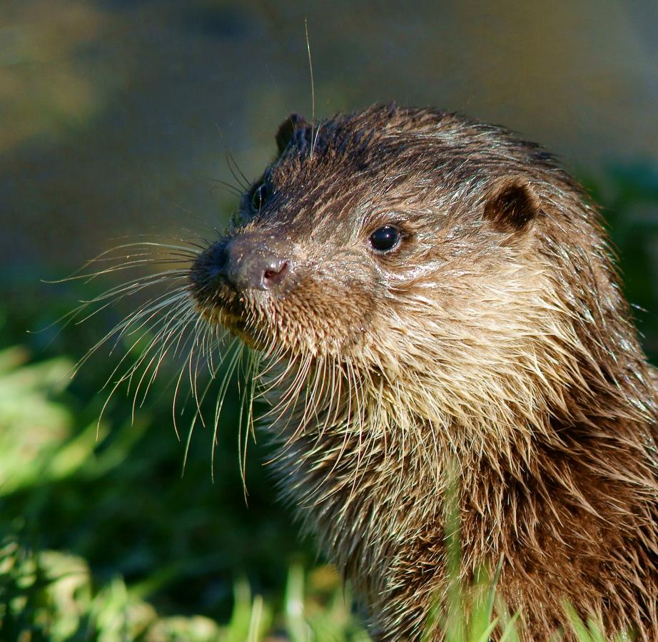 Good Morning Otter Meme : Otter says good morning — the daily