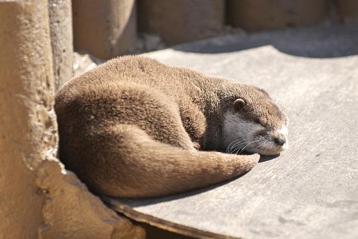 Otter Naps in the Sun