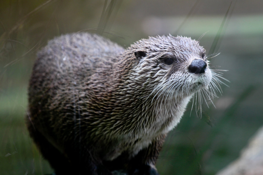 Otter Balances on a Branch