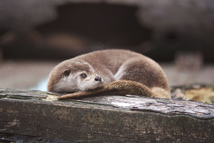Otter Curls up into a Ball