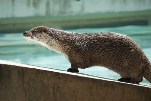 Otter Wanders up the Ramp