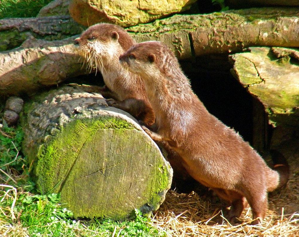 Sisyphus Otters Roll Their Log