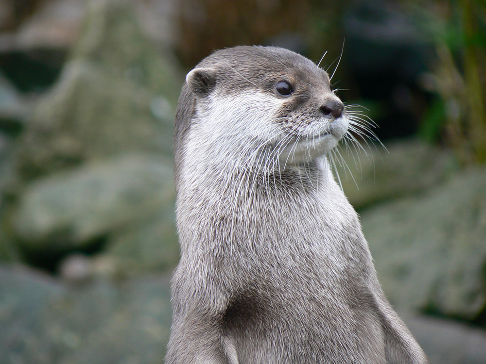 Otter Stands Up Straight