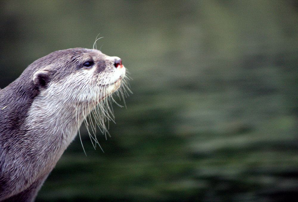 Profile of a Content Otter