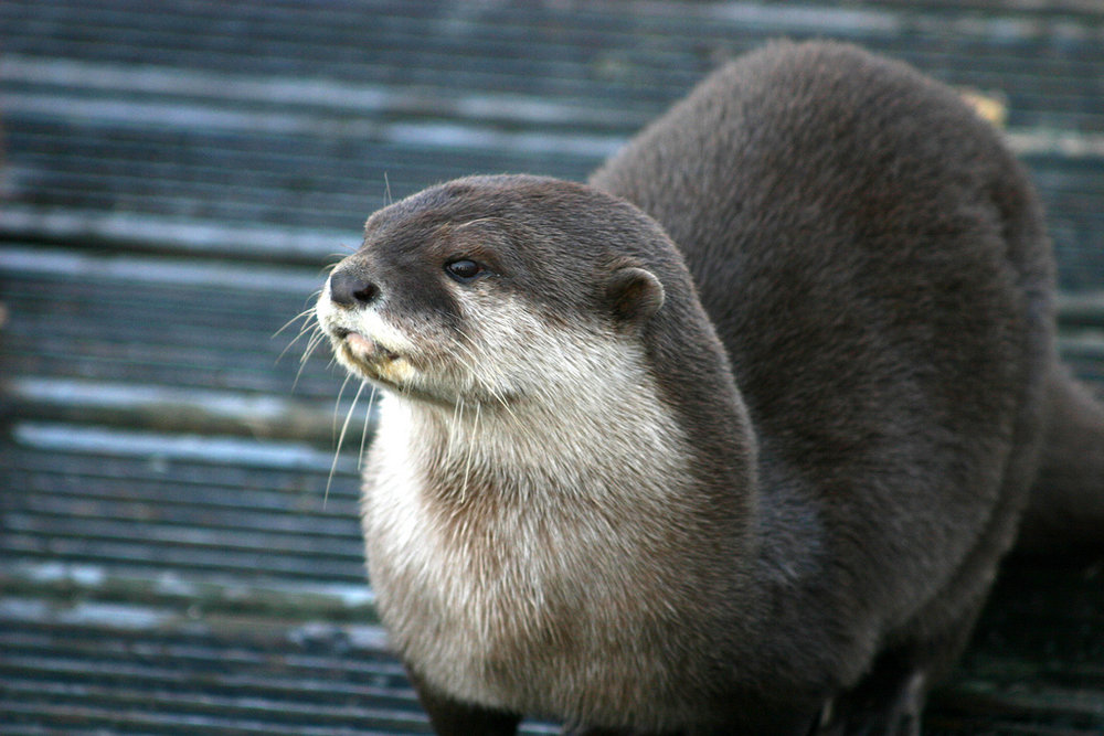Otter Gaze