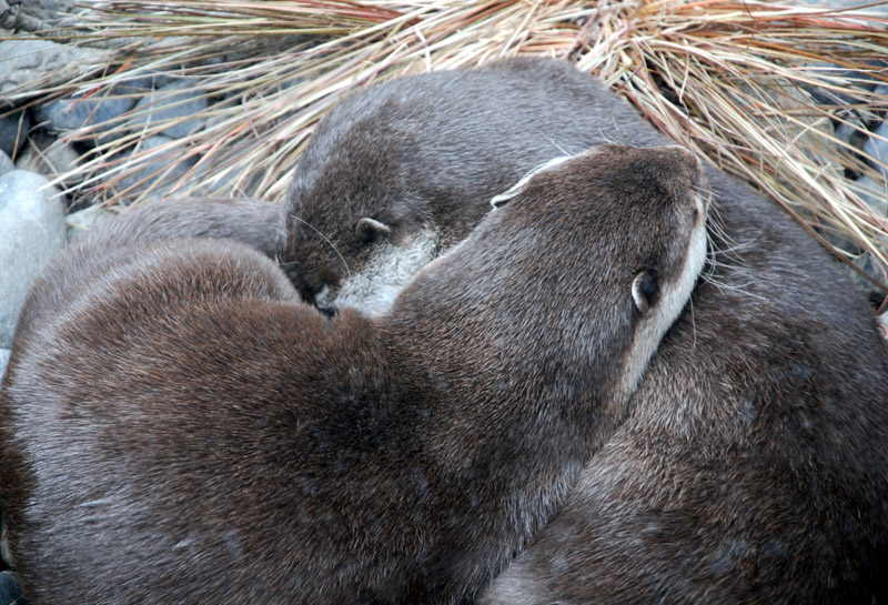 Otter Cuddle and Nap