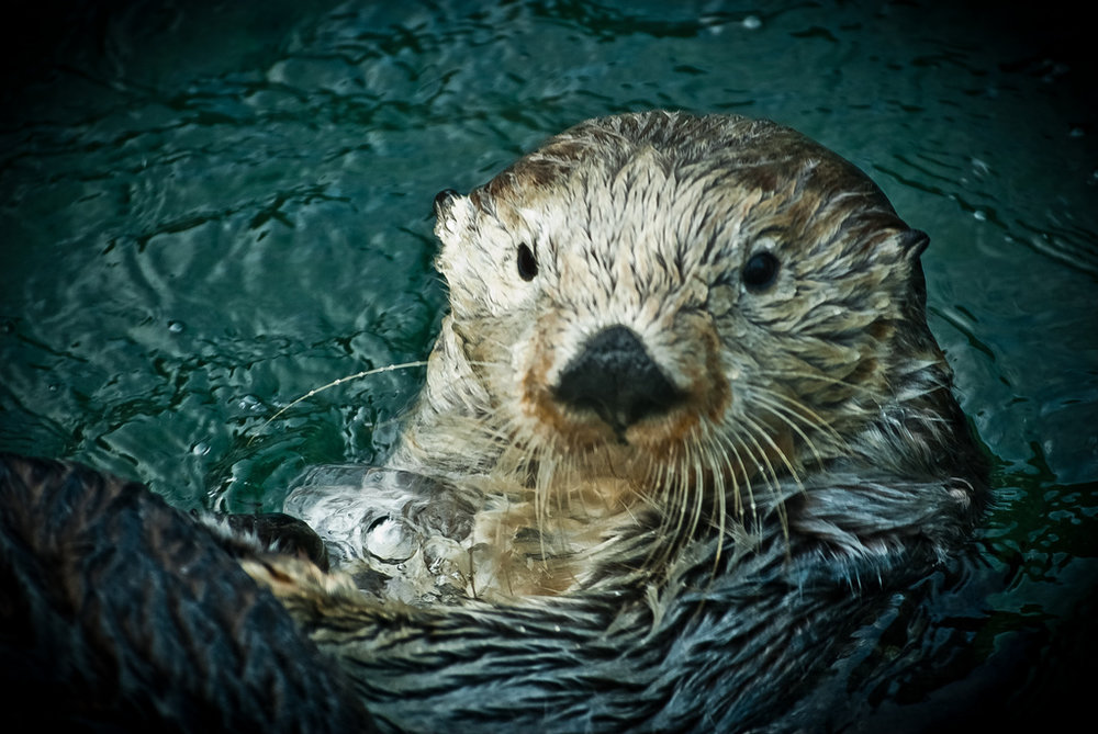 Sea Otter Looks at Camera