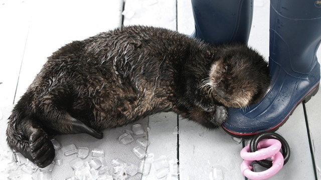 Ollie the Otter Snuggles Up to Boots