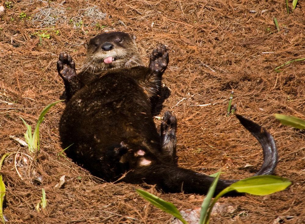 Goofball Otter