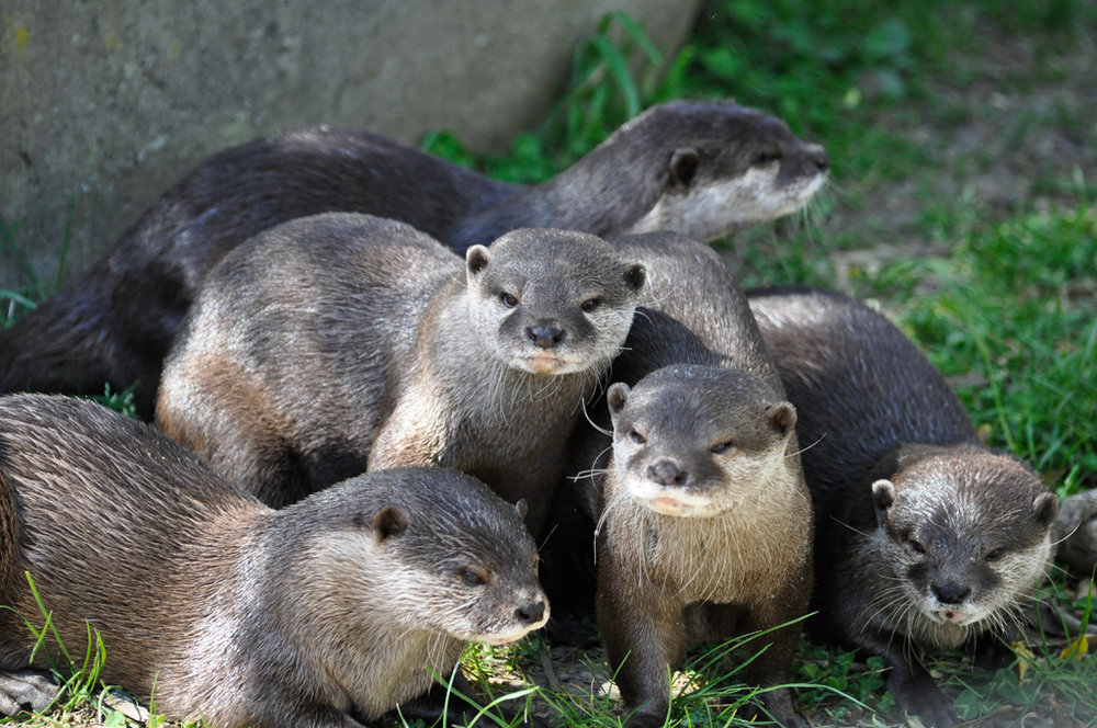 Otter Gang Looks Tough