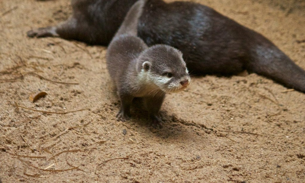 Little Otter Pup