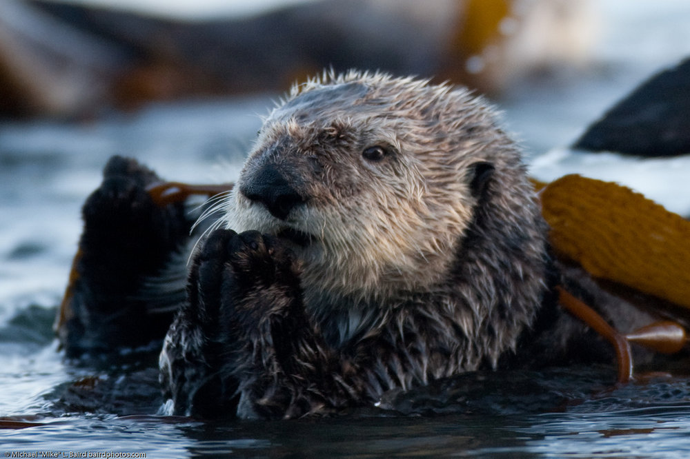 Otter Hopes for Some Fish