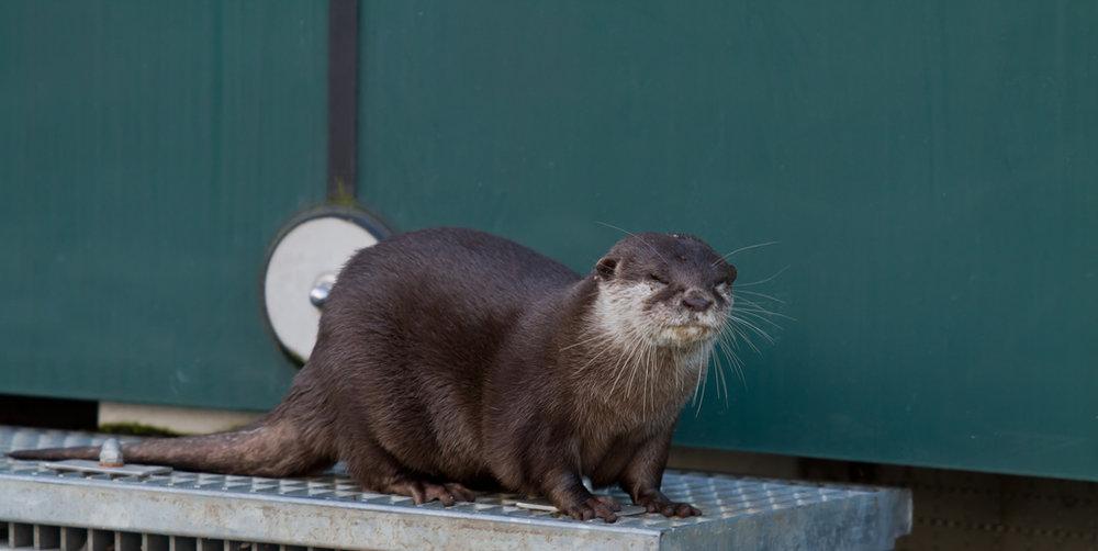 Otter Squeezes Eyes Shut