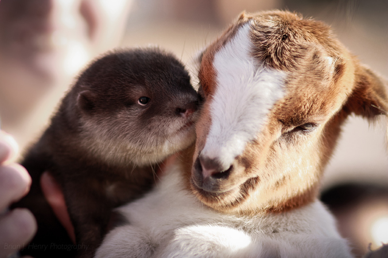 Otter and Goat Cuddle