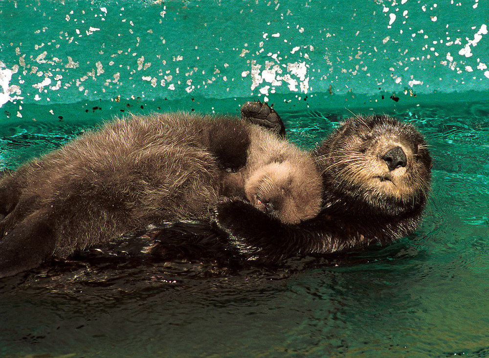Otter Pup Naps on Mother's Belly
