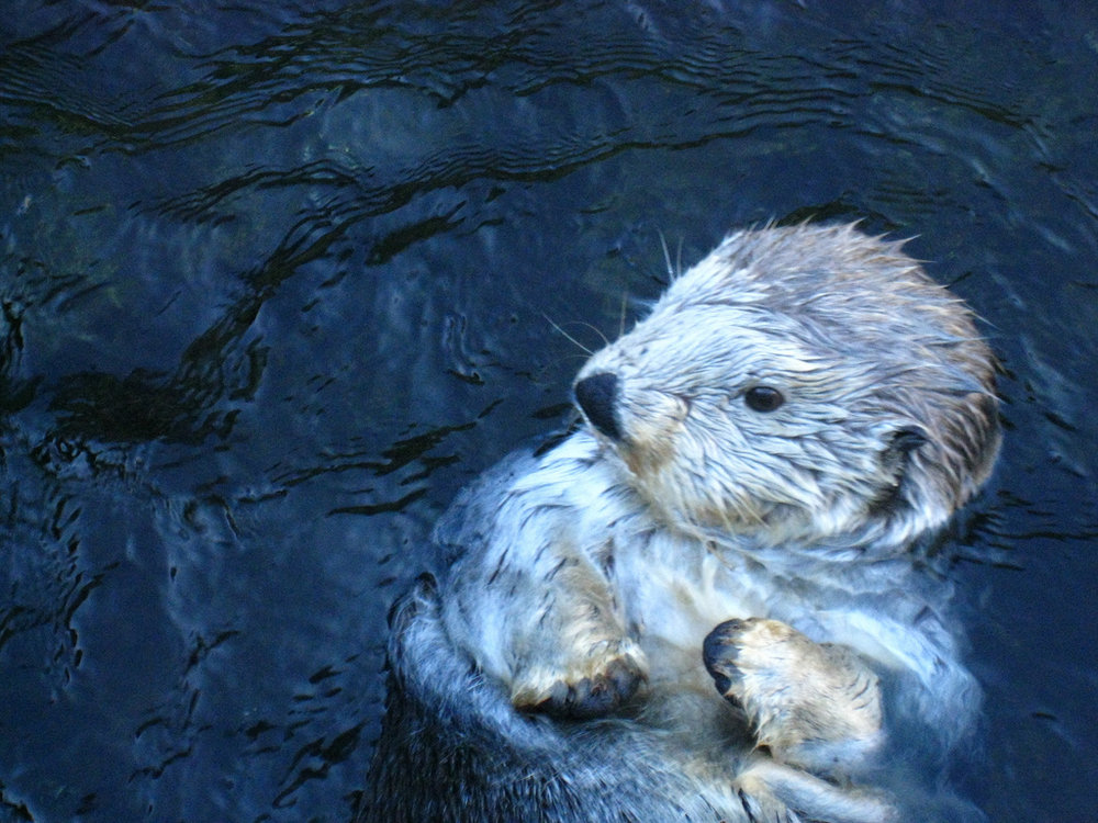 Floating Silver Otter