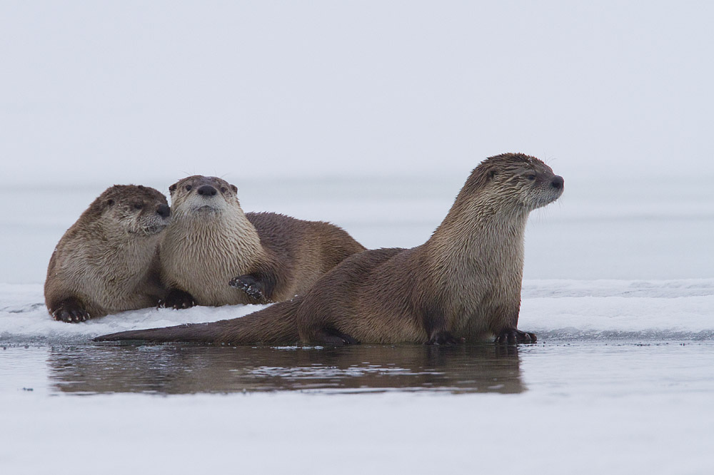 Gossiping Otters