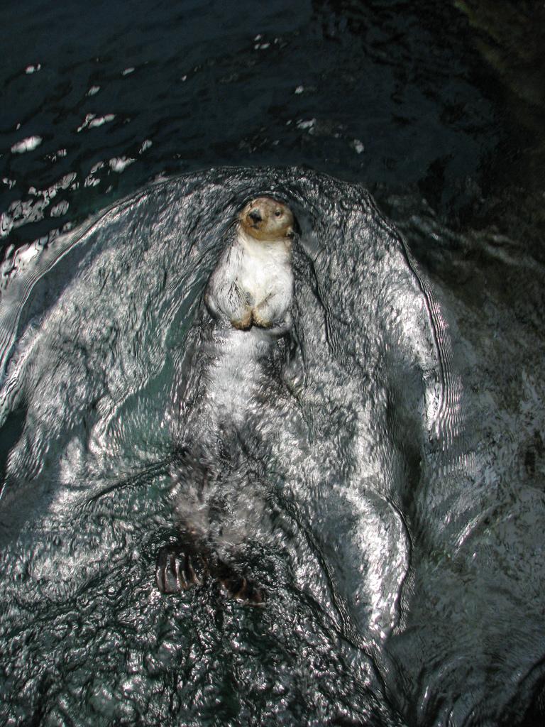 Sea Otter Makes Waves