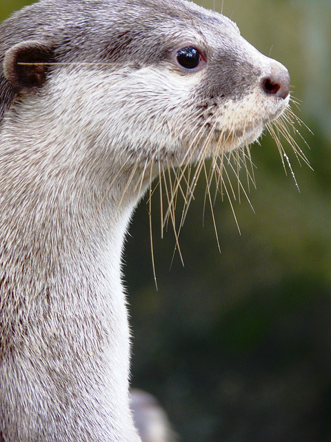 Otter Waits for Food