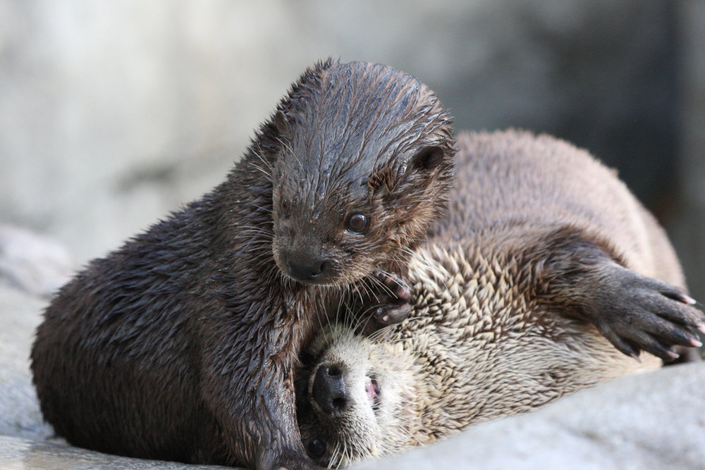 Otter Is Distracted from Playtime