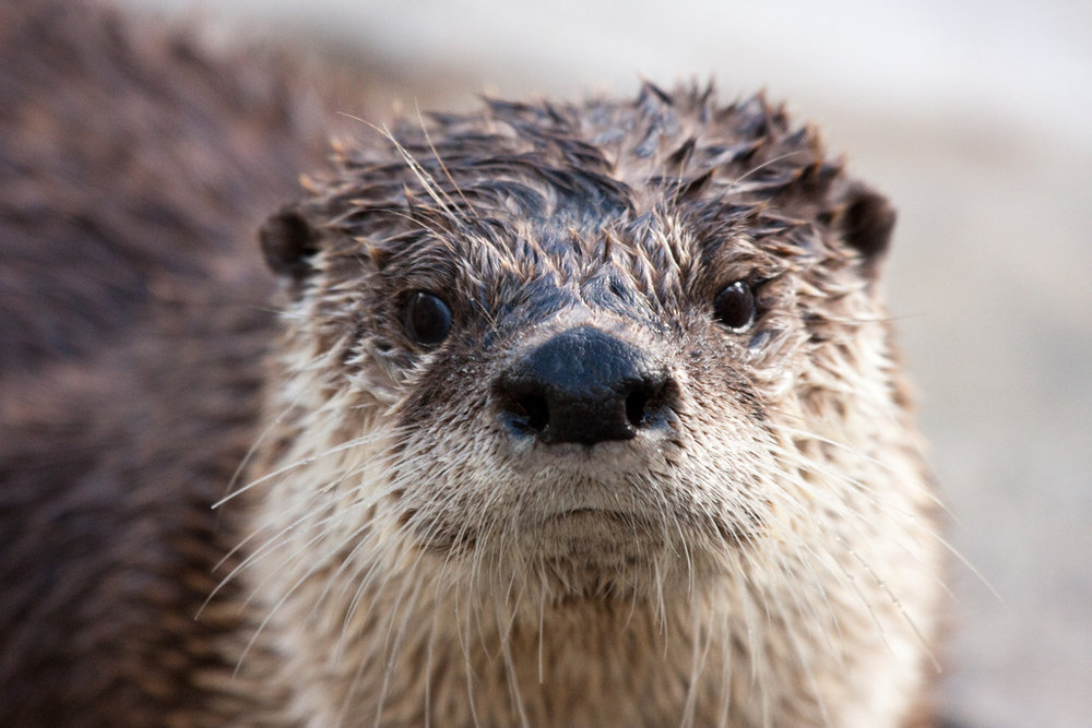 Otter Staring Contest