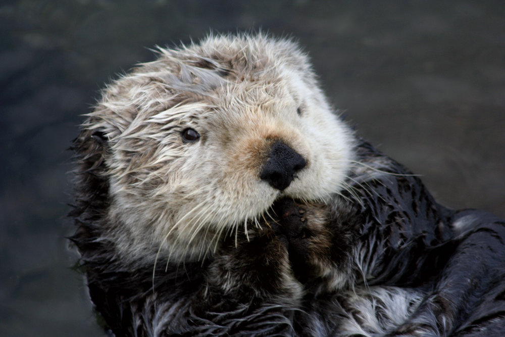 Sea Otter Has an Inside Joke