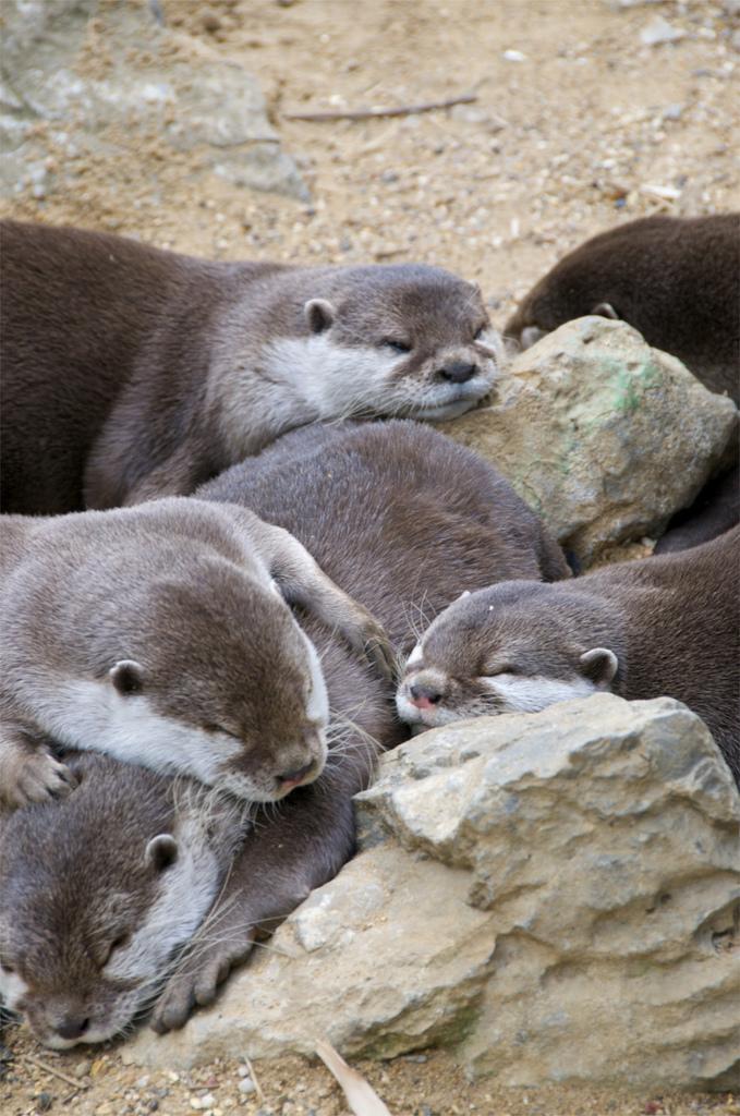 Pile of Sleepy Otters
