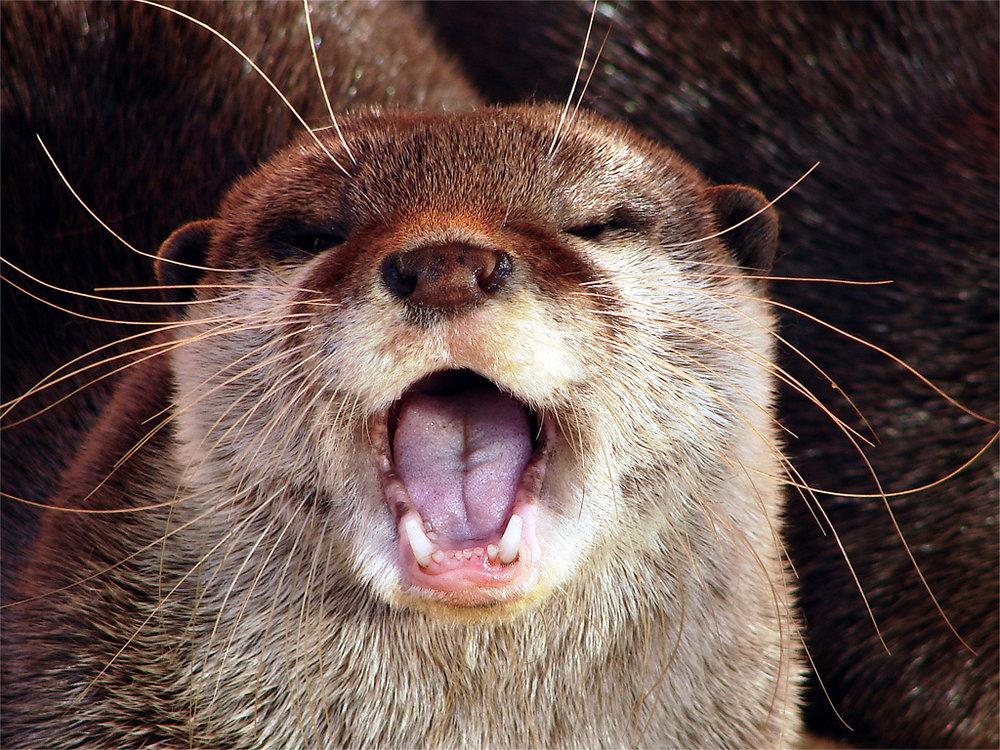 Singing Otter