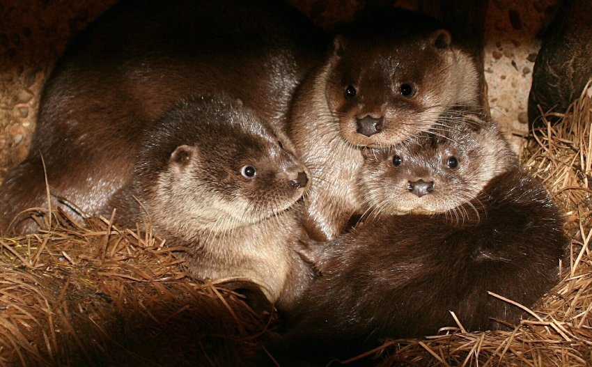 Baby Otters Curl Up Together